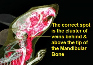 Mouse Veins X-Ray 300 x 210 with text